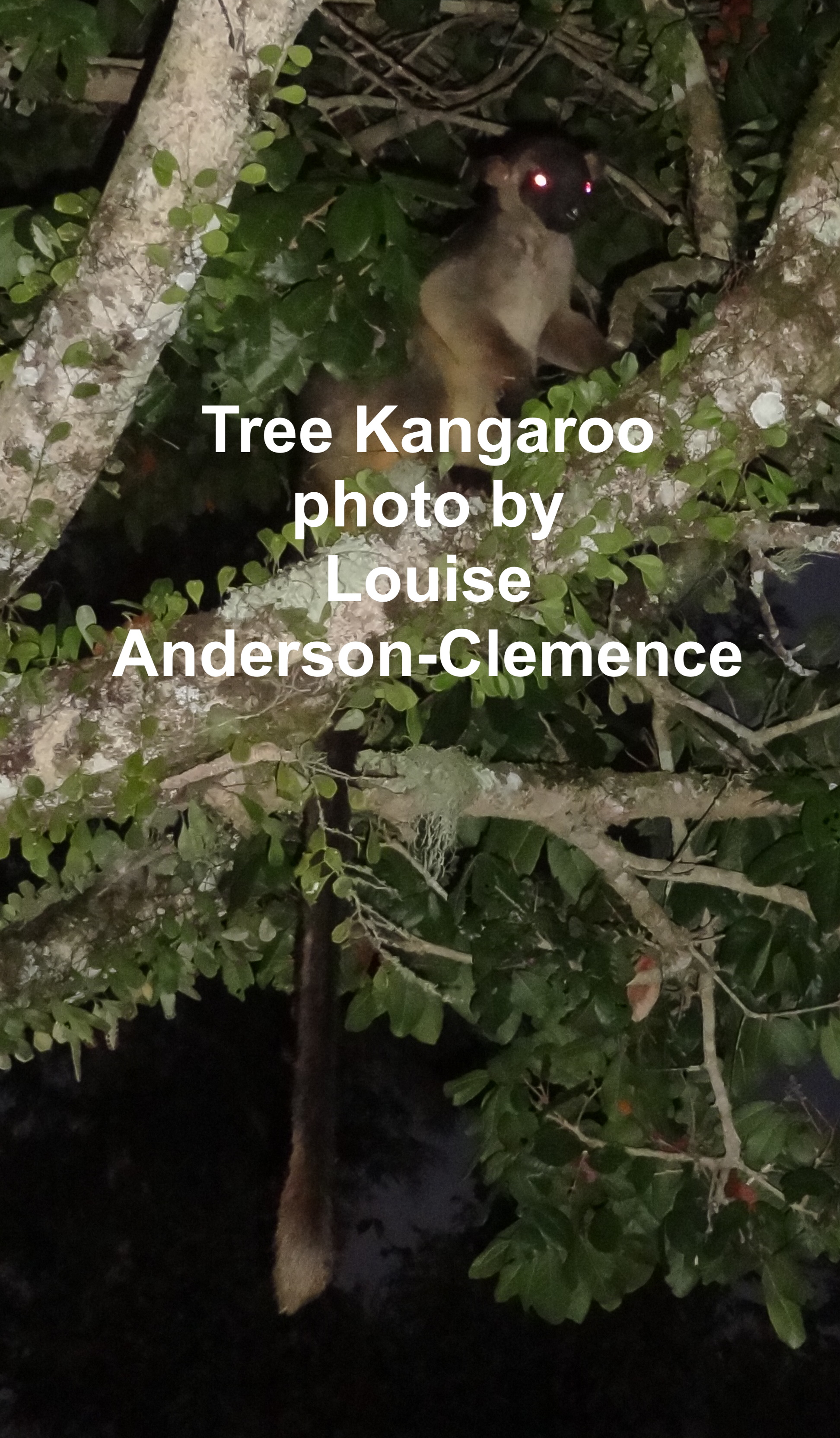 Tree Kangaroo by Louise Anderson-Clemence
